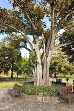 The Moreton Bay Fig Tree